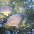 写真: メタボな鯉