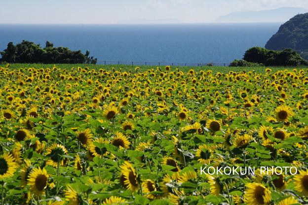 ひまわり畑と海