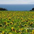 Photos: ひまわり畑と海