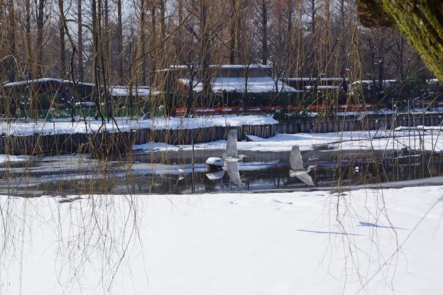 サギが2羽飛んだ雪景色