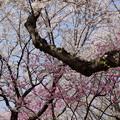 写真: 桜の花束いっぱい持って待ってまーす