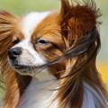 写真: 風の中のパピヨン