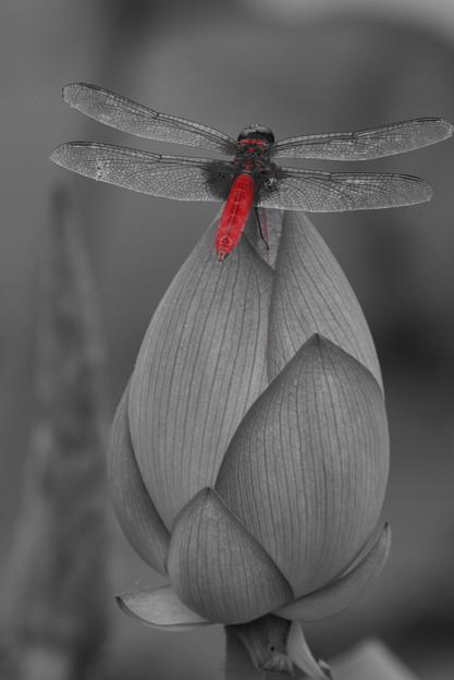 桃と赤蜻蛉