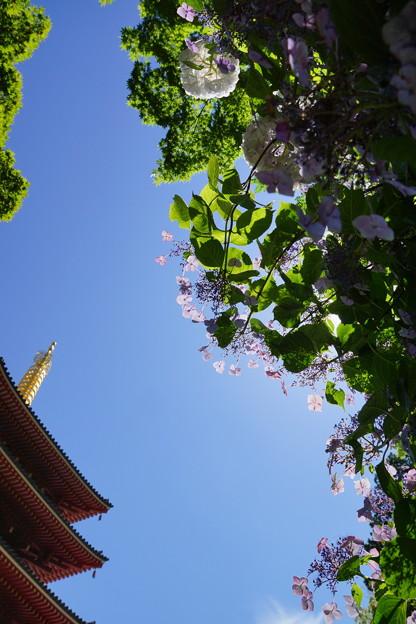 空を見上げたら紫陽花が咲いていた