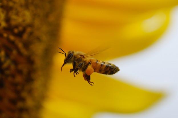 蜂は黄色い世界が好き