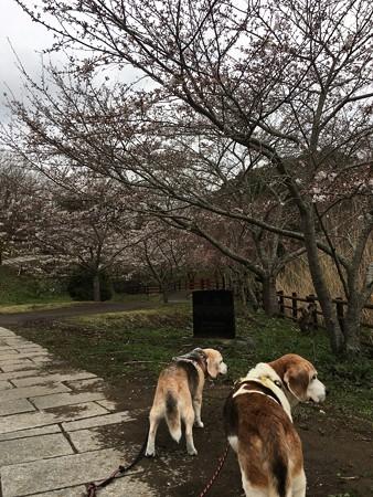染井吉野が咲いてきたよ!