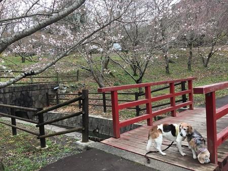赤い橋と桜とマリうみ、いいね!