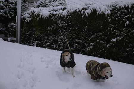 流石に「雪は勘弁」ってな顔になってきたシニアビーグル