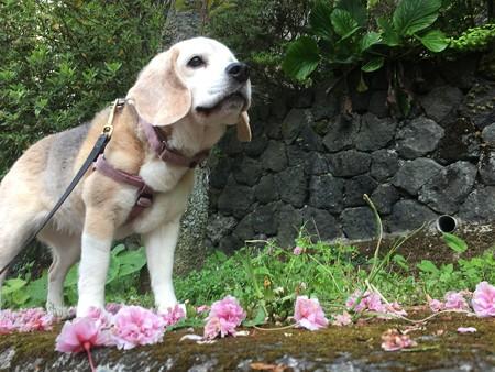 八重桜の絨毯とキリッとうみ姫