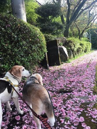 八重桜絨毯とマリうみ(花とマリうみ)