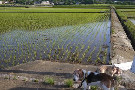 田んぼも苗が大きくなってきて緑色の面積が増えてきました