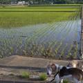 写真: 田んぼも苗が大きくなってきて緑色の面積が増えてきました