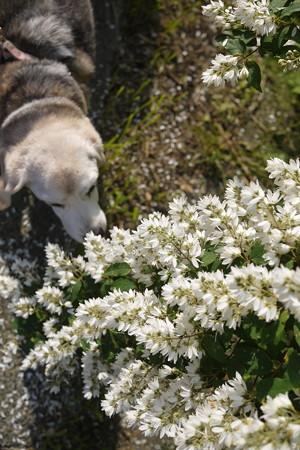 あら、お鼻が長く見えますが、実際はまん丸のビーグルちゃんです(お花とマリうみ@LUMIX)