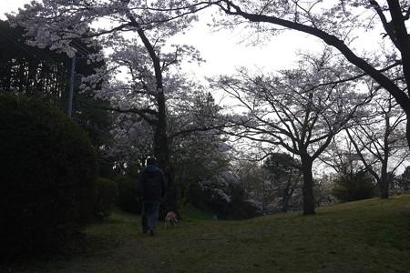 近くの桜公園に来ましたよ
