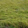 Photos: 台風で丹那の稲が倒れてしまってます