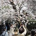 上野の桜 CIAC0I0056