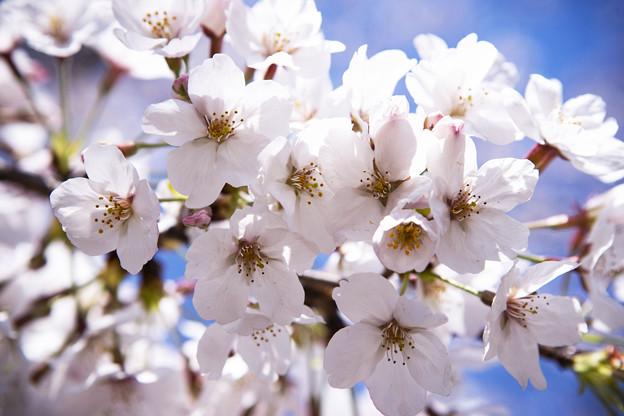 Photos: 上野の桜 CIAC0I1781