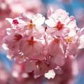 Photos: 上野の桜 CIAC0I1856