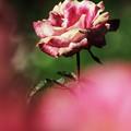 写真: rose