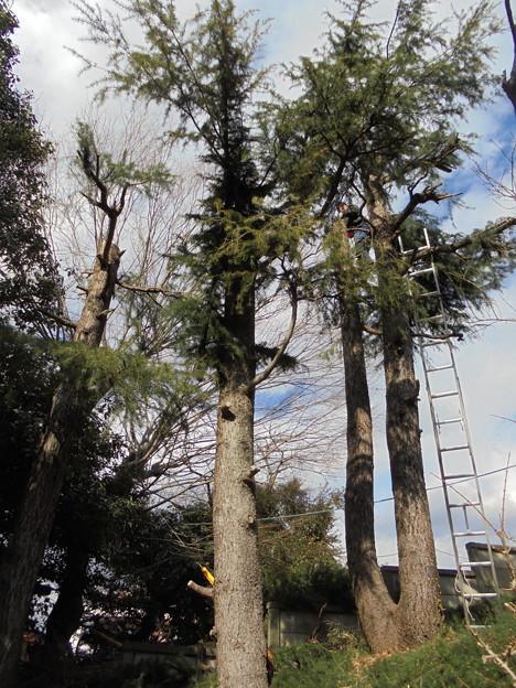 ヒマラヤ杉の枝払い