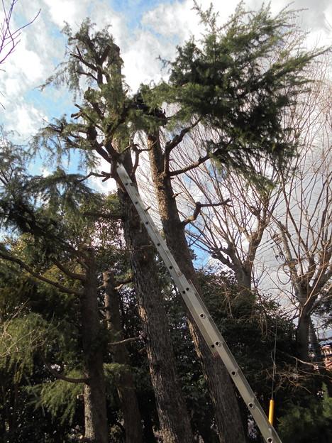 ヒマラヤ杉枝払い