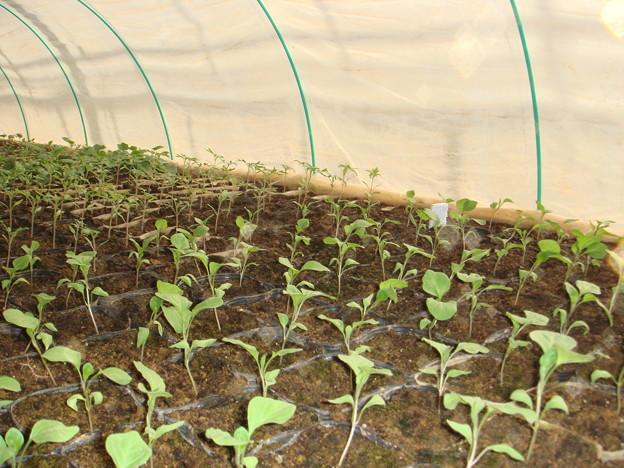 千両茄子と桃太郎トマトの苗