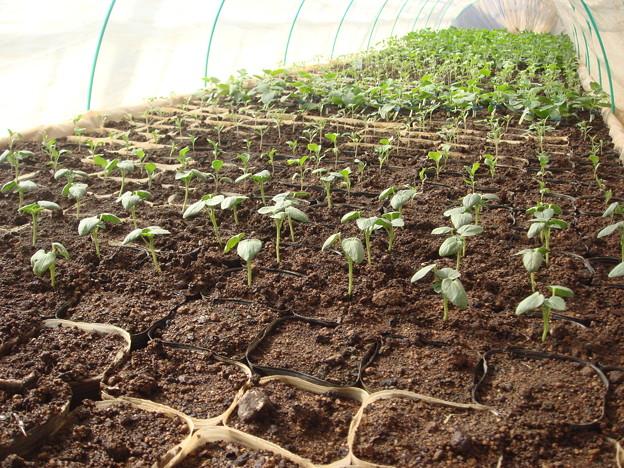 オクラと千両茄子とトマトと胡瓜接木苗と瓜メロン苗