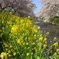 Photos: 菜の花と桜~五条川