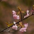 Photos: 河津桜が咲き始めた