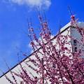 白壁と河津桜
