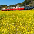 写真: 菜の花トロッコ
