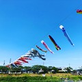 Photos: 垂井鯉のぼり@インスタ風