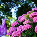 写真: 稲沢あじさい祭り3