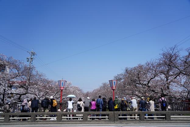 Photos: 桜まつり