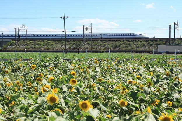写真: N700系×大垣ひまわり畑