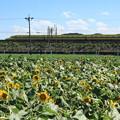 Photos: 700系ドクターイエロー×大垣ひまわり畑