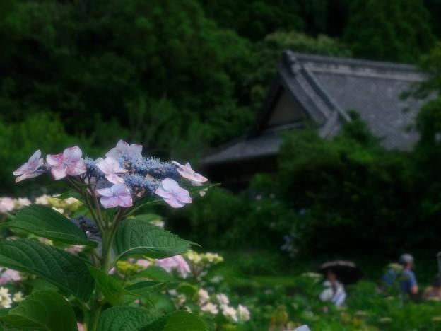 古寺の庭に咲く