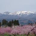 写真: 桃の花の咲く頃
