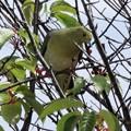 写真: 桜の実の熟する頃・・・