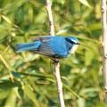 写真: 青い鳥