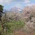 Photos: 里山の桜