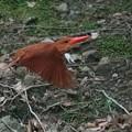 Photos: 火の鳥