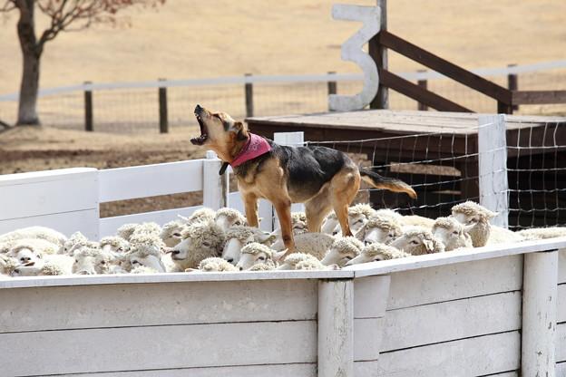 俺の羊さばき見たか~。