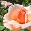バラに魅せられて