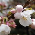 写真: 桜 開花宣言
