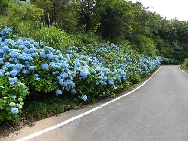 写真: 大川原高原 アジサイ