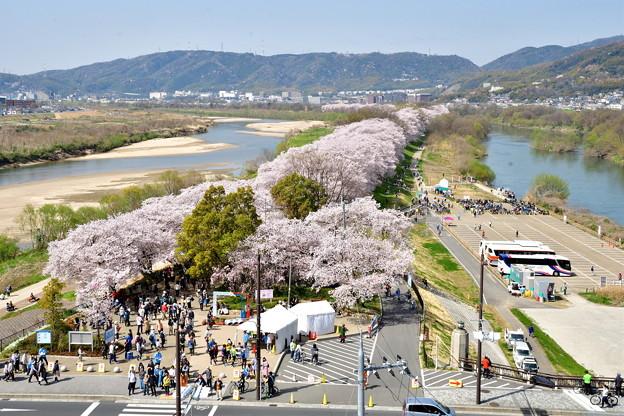 2018_0331_102909 1.4キロ続く桜並木