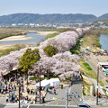 Photos: 2018_0331_102909 1.4キロ続く桜並木