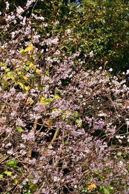2018_1202_124425 平野神社の十月桜