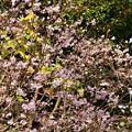 写真: 2018_1202_124425 平野神社の十月桜